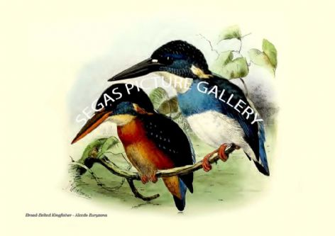 Fine art print of the Broad-Belted Kingfisher - Alcedo Euryzona by  the artist Johannes Gerardus Keulemans (1868-1871)